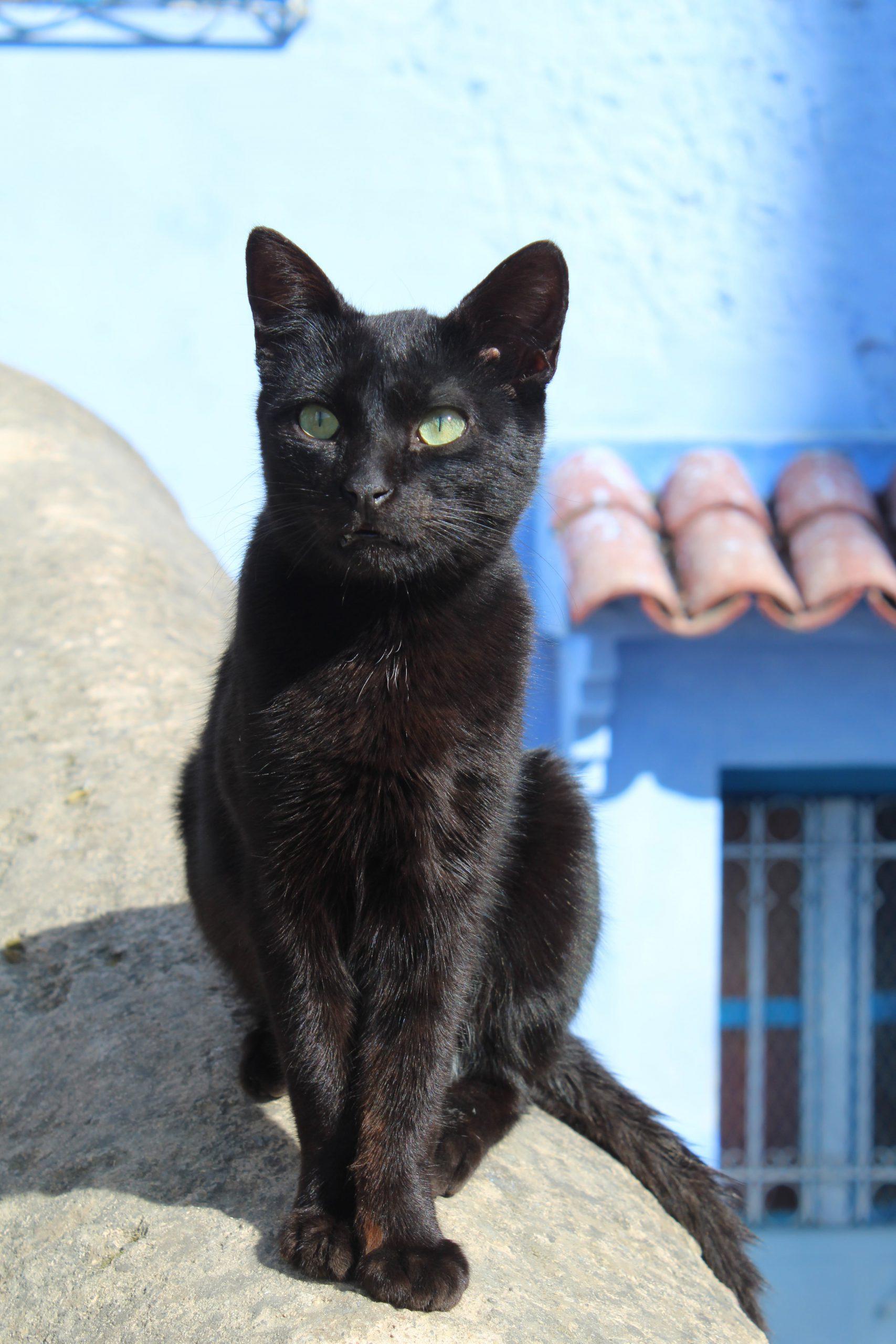 Cat of Chefchaouen